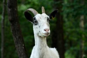 goat internet